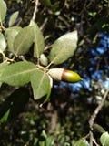 圣栎叶子和玉米 库存图片