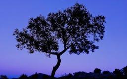 圣栎树在日落的冬天 免版税库存照片