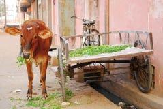 圣洁的母牛 免版税库存图片