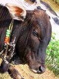 圣洁的母牛 库存图片
