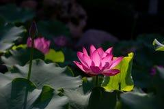 圣洁的莲花 Holy Lotus.  royalty free stock photos