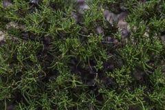 圣洁胡麻植物 免版税库存照片