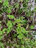 圣洁蓬蒿绿色植物 库存照片