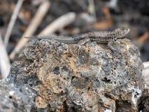 圣熔岩蜥蜴, Microlophus bivittatus,是激昂在石头,伊莎贝拉岛海岛,加拉帕戈斯,厄瓜多尔 库存照片