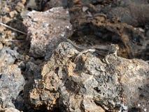 圣熔岩蜥蜴, Microlophus bivittatus,是激昂在石头,伊莎贝拉岛海岛,加拉帕戈斯,厄瓜多尔 免版税库存照片