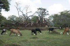 圣牛在阿努拉德普勒,斯里兰卡 免版税库存图片