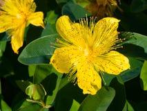 圣约翰` s麦芽酒或黄色沙仑的玫瑰花,金丝桃属植物calycinum,花特写镜头,选择聚焦,浅DOF 库存图片