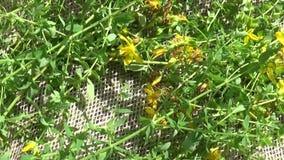 圣约翰` s麦芽酒草在粗麻布的领域收集了 收获药用植物在夏天 全景行动 影视素材