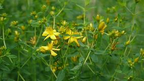 圣约翰` s麦芽酒,有花的药用植物在领域 影视素材