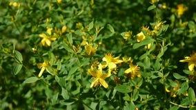 圣约翰` s麦芽酒,有花的药用植物在领域 股票录像