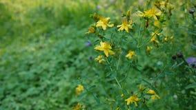 圣约翰` s麦芽酒,有花的药用植物在领域 股票视频