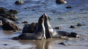 圣西梅昂,美国- 2014年10月7日, :海象在没有的高速公路的景色点 1或太平洋海岸Hwy 库存照片