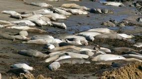 圣西梅昂,美国- 2014年10月7日, :海象在没有的高速公路的景色点 1或太平洋海岸Hwy 免版税库存图片