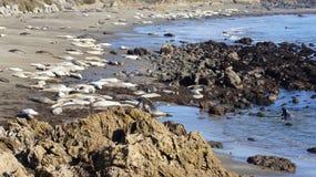 圣西梅昂,美国- 2014年10月7日, :海象在没有的高速公路的景色点 1或太平洋海岸Hwy 免版税库存照片