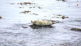 圣西梅昂,美国- 2014年10月7日, :海象在没有的高速公路的景色点 1或太平洋海岸Hwy 免版税图库摄影