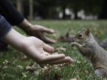 圣詹姆斯公园伦敦灰鼠哺养 库存图片