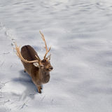 圣诞卡的背景与在雪和copyspac的鹿 免版税库存图片