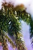 圣诞卡的背景-与雪的冷杉分支在winte 免版税库存图片
