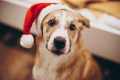 圣诞快乐和新年好概念 在圣诞老人ha的逗人喜爱的狗 免版税库存照片