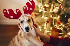 圣诞快乐和新年好概念 在驯鹿的逗人喜爱的狗 库存照片