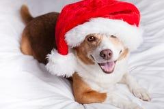 圣诞快乐狗 免版税库存照片