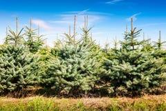圣诞树农场 免版税库存照片