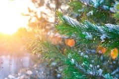 圣诞树分支在太阳光芒,报道用在森林美丽如画的冬天风景的雪在日落 库存照片