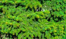 圣诞树分支背景 有益于设计 免版税图库摄影