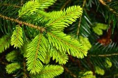 圣诞树分支 库存图片