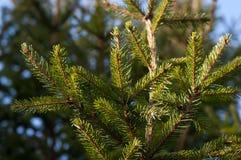 圣诞树分行 库存图片