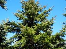 圣诞树在蓝色背景的公园 免版税库存图片