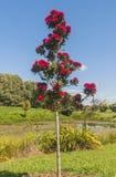 圣诞树在12月开花在奥克兰新西兰 库存照片
