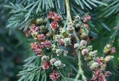 圣诞树开花的花 免版税库存照片