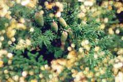 圣诞树特写镜头,金黄bokeh点燃 与锥体的常青分支 欢乐现代被弄脏的背景 库存图片
