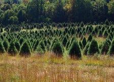 圣诞树生长在林场的- 2 库存图片