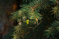 圣诞树的分支,在新年` s题材的宏观照片 免版税库存照片