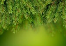 圣诞树背景分支  免版税库存图片