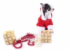 圣诞老人奇瓦瓦狗 库存图片