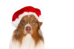 戴圣诞老人帽子的澳大利亚牧羊人的画象,看在照相机 免版税库存照片