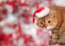 戴圣诞老人帽子的猫 免版税图库摄影