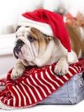戴圣诞老人帽子的英国牛头犬 库存照片