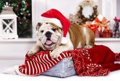 戴圣诞老人帽子的英国牛头犬 免版税库存图片