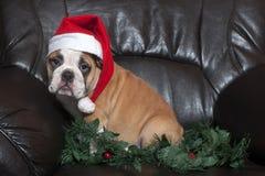 圣诞老人牛头犬 库存图片
