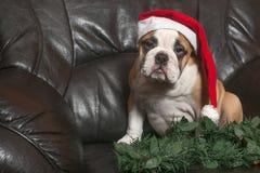 圣诞老人牛头犬 免版税图库摄影