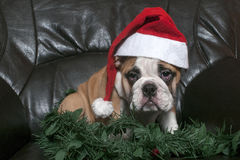 圣诞老人牛头犬 免版税库存照片
