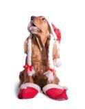 圣诞老人西班牙猎狗 免版税库存照片
