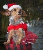 戴圣诞老人随员和帽子的可爱的小混杂的品种狗 库存照片