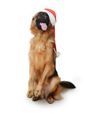 戴圣诞老人` s帽子的一条幼小德国牧羊犬狗的画象站立在它的后腿反对白色背景 两 免版税库存图片