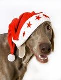 圣诞老人weimaraner 免版税库存图片