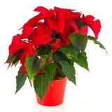 圣诞节一品红红色 免版税库存图片